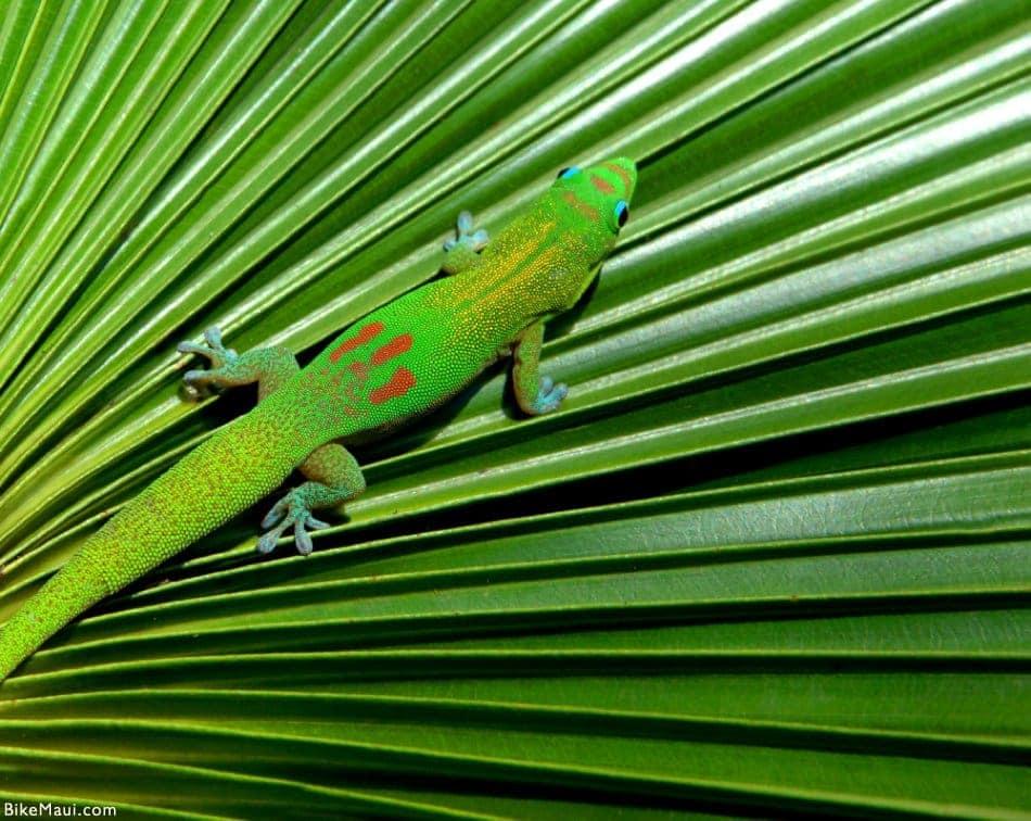 gecko brancho