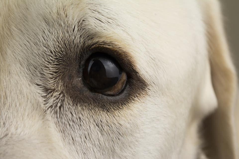 when do lab puppies open their eyes