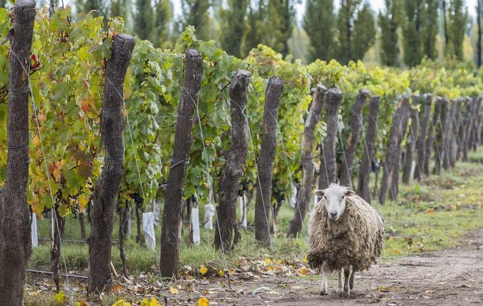 Vino Vegano Argentina Vino Organico Sustentable Argentina Ovejas Viñedo