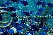 Blue Tang, Acanthurus coeruleus, Bloch & Schneider, 1801, Grand Cayman (Steven W Smeltzer)