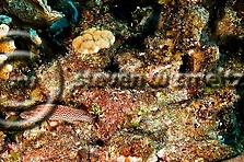 Red Hind, Epinephelus guttatus, Grand Cayman (StevenWSmeltzer.com)