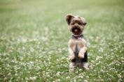 """Die saisonale Atopie beim Hund kann viele Ursachen haben. Hunde können beispielsweise allergisch auf Blütenstaub, Gräser oder Pollen reagieren. Weiterer Text über ots und www.presseportal.de/nr/76750 / Die Verwendung dieses Bildes ist für redaktionelle Zwecke honorarfrei. Veröffentlichung bitte unter Quellenangabe: """"obs/Bundesverband für Tiergesundheit e.V./Shutterstock"""""""