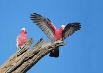 Take Part in the Aussie Backyard Bird Count