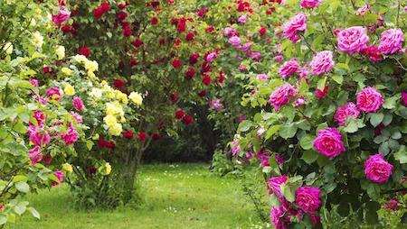 Саженцы роз от 380 рублей