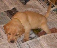 A yellow Labrador puppy walking on newspaper