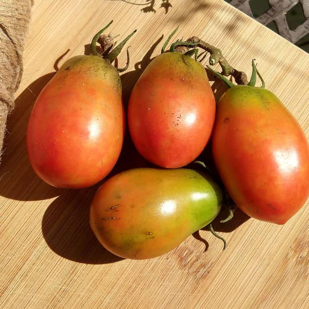Wet Season gardening tomatoes