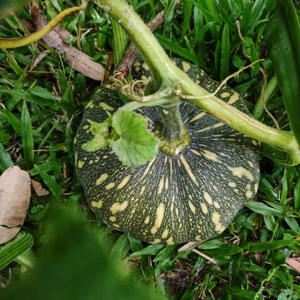 Tropical Garden in May Pumpkins