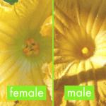 male and female pumpkin flowers