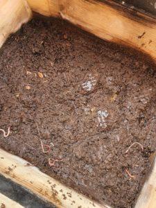 Wurmhumus bei der Ernte