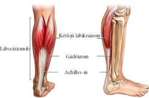 a lábszár anatómiája