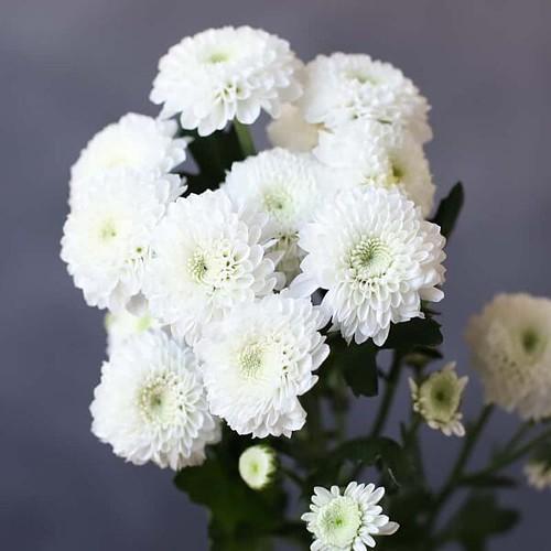 Хризантема Кокос - Фото 85