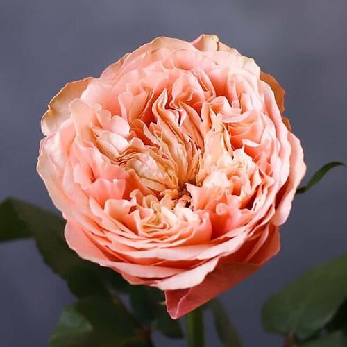Садовая роза - Фото 88