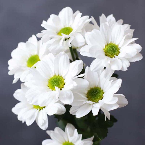 Хризантема кустовая - Фото 1