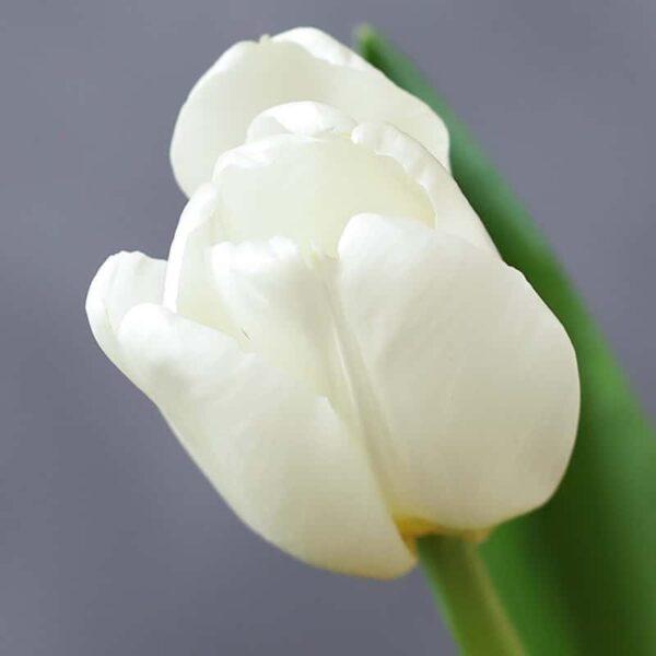 Тюльпан - Фото 1