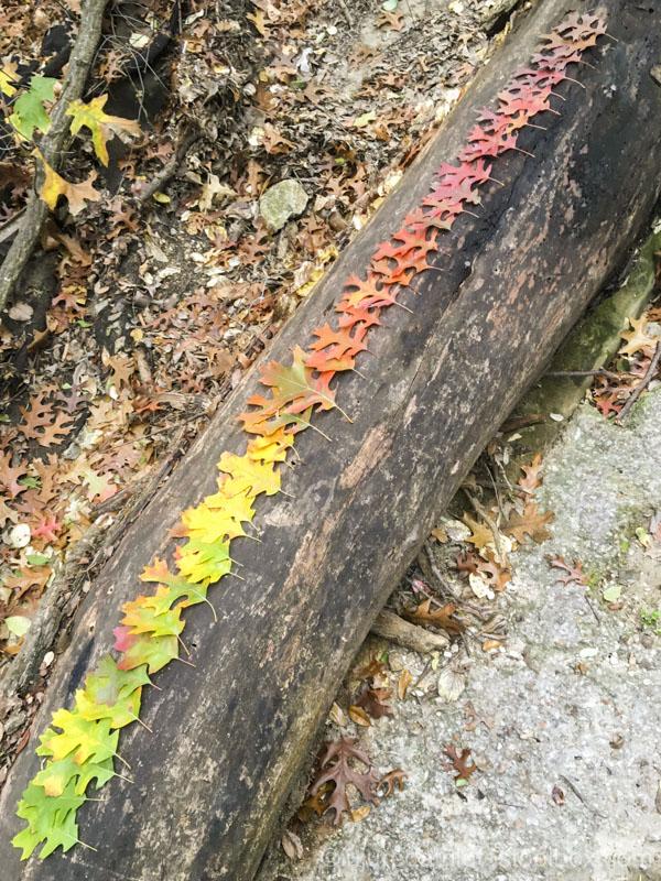 red oak leaf rainbow