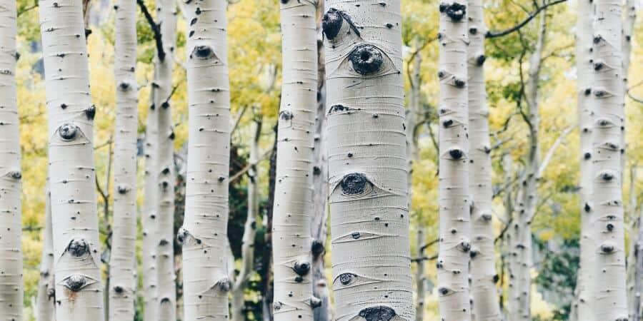 Birch Tree Sap Guide (1)