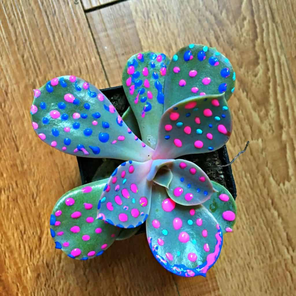 succulent with blue and pink paint dots on it