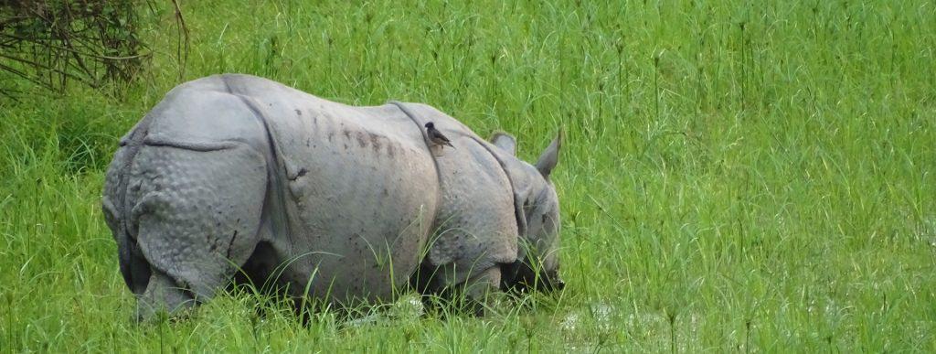 one horned rhino kaziranga meghalaya tour package