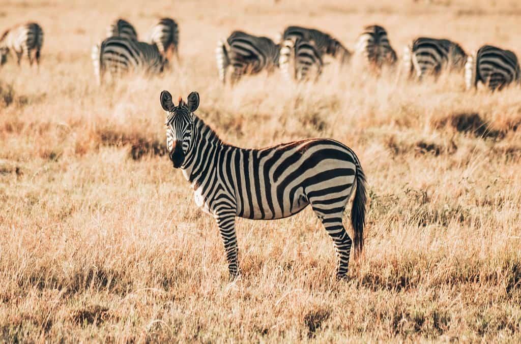 Zebra Tansania Safari