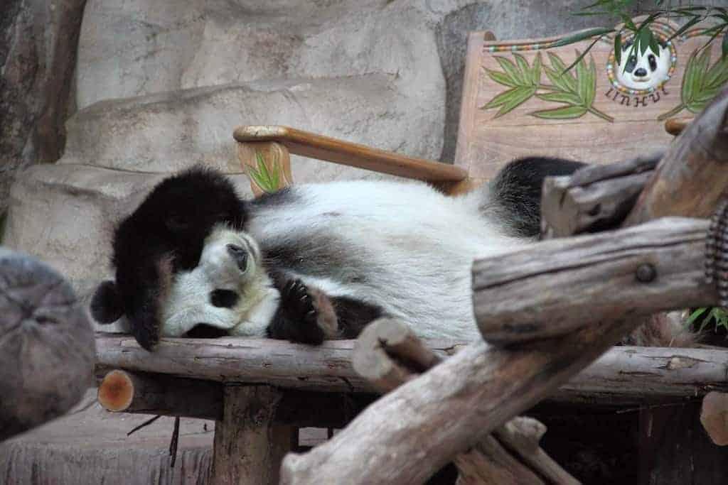 lazy panda chiang mai zoo