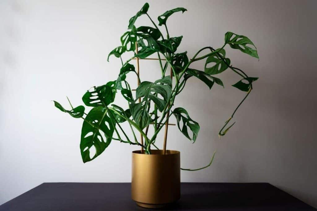How to Care For Monstera Adansonii