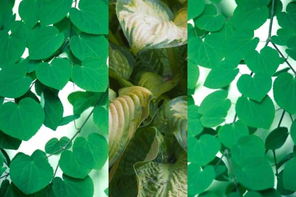 Plants that has Heart Shaped Leaves