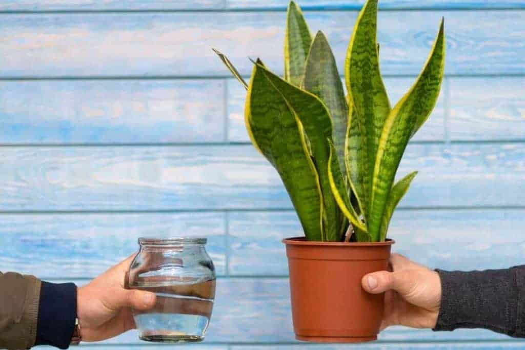 Snake Plant Watering Needs