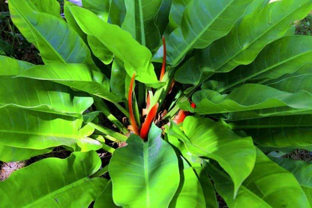 What is Philodendron Red Moon