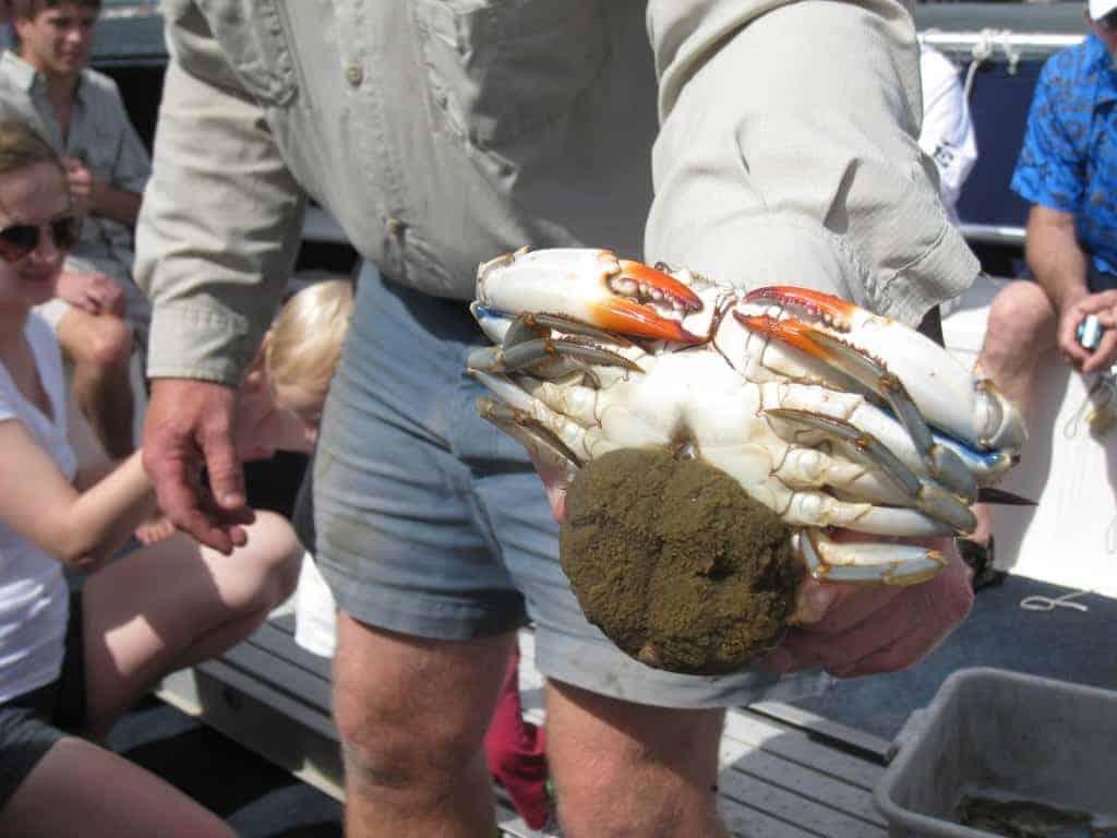 Close look at a live crab. Party boat fishing Charleston, SC