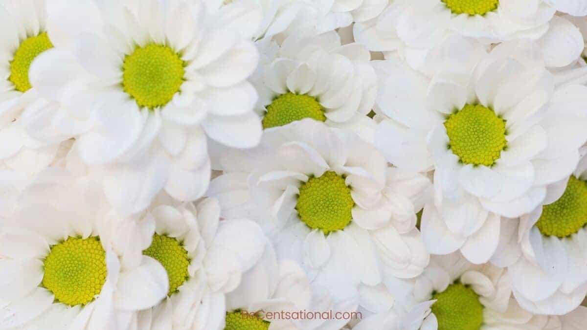 white daisy Flower Wallpapers Wallpapers, flower Backgrounds for desktop