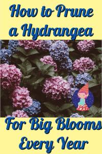 When should you prune a hydrangea
