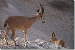 Wild Ibexes