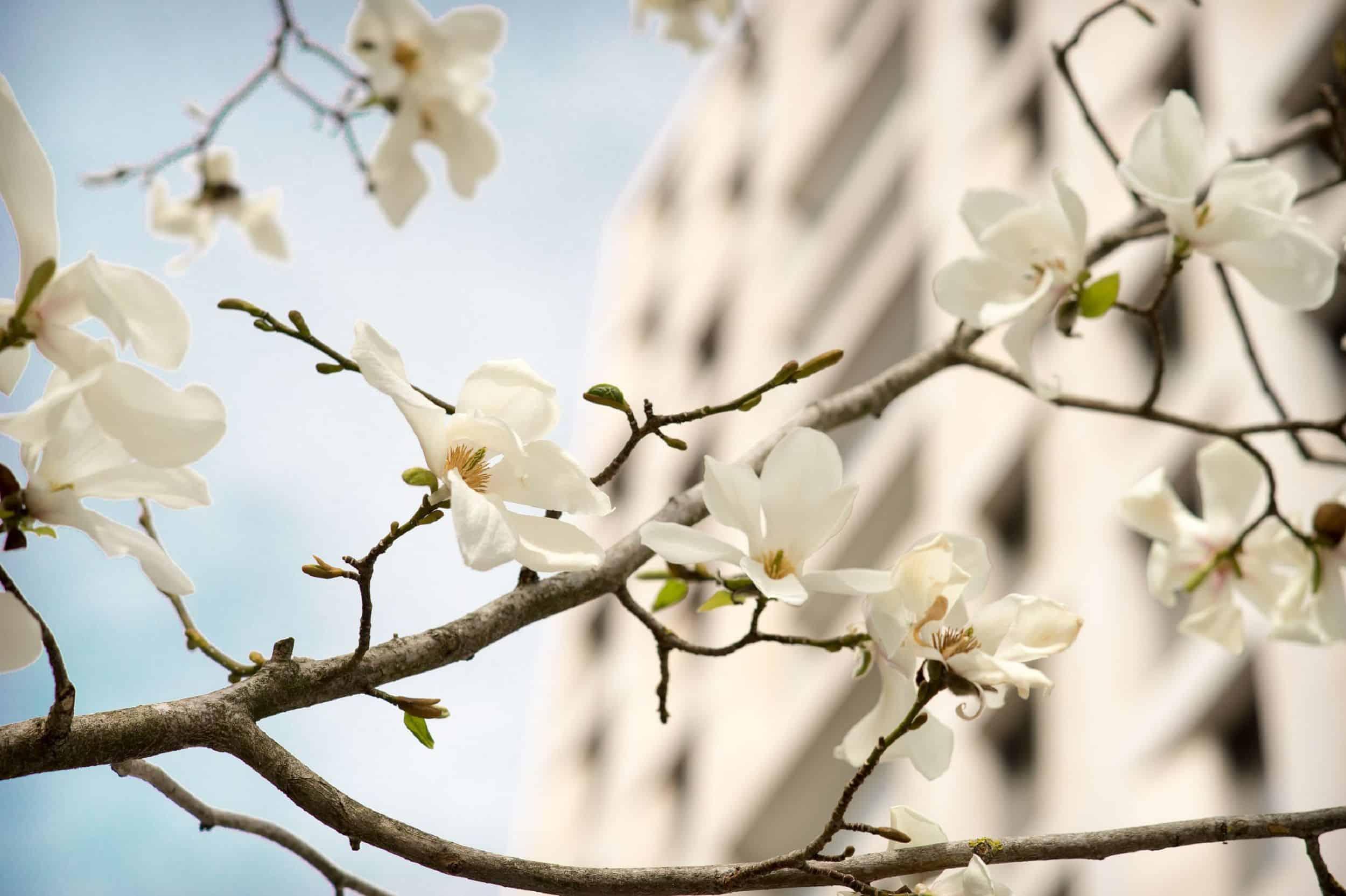 Bild: Magnolienblüte in der Gasse, Foto: ver.de landschaftsarchitektur