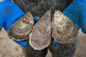 Md. Oyster Fishery Proposal Stirs up Controversy
