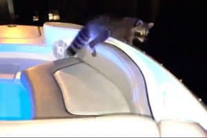 VIDEO: Stowaway Raccoon Enjoys Day Powerboating on the Bay