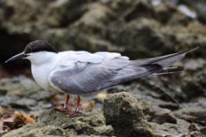 Poplar Island Tern Tracked All the Way to Aruba