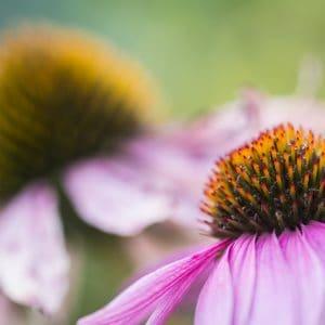 Coneflower in full blom.