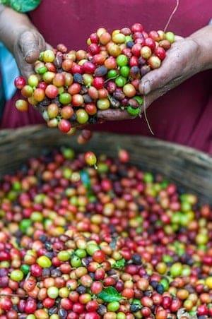 A farm worker handles coffee cherries
