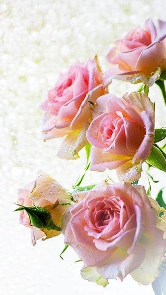 pink roses wallpaper aesthetic, pink flower wallpaper iPhone