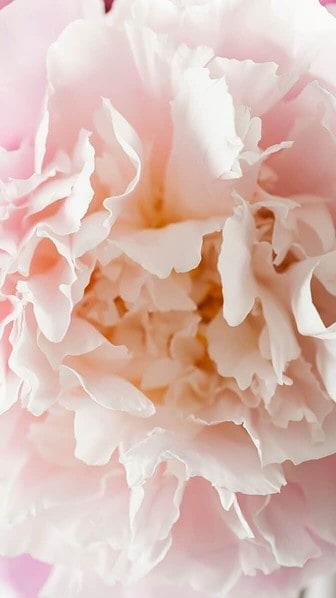 peony petals wallpaper aesthetic, pink flower wallpaper iPhone