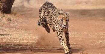 a cheetah running has high fitness