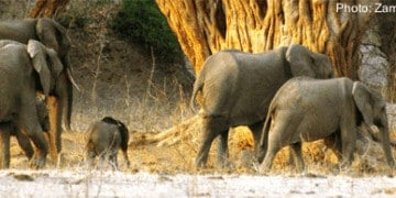 Safari sighting: elephants in zambezi