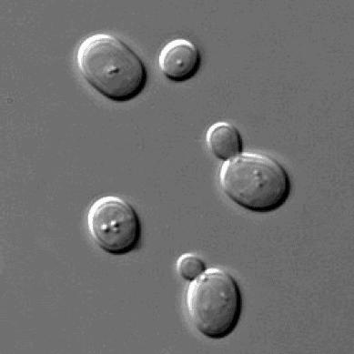 Células de levadura