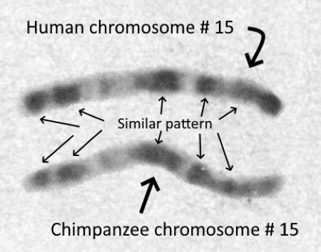 banding of human and chimpanzee chromosome 15 compared