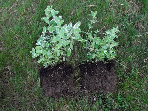 how to propagate herbs 4