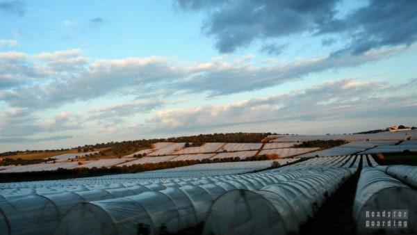 Sycylijskie plantacje pomidorów