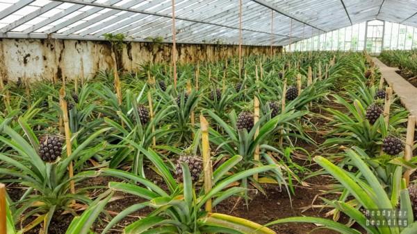Jak rosną ananasy? (na Azorach, w Europie ;))