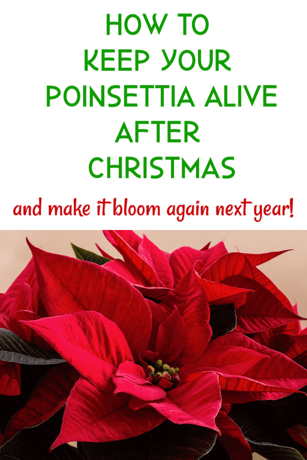 how to grow a poinsettia graphic