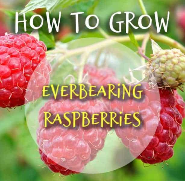 How to grow and everbearing raspberry bush