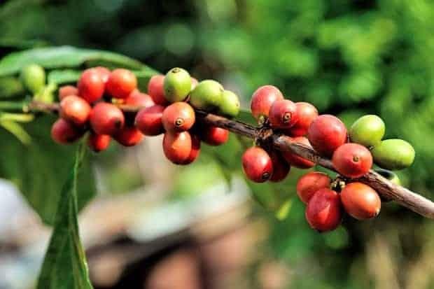 Arabica coffee plant